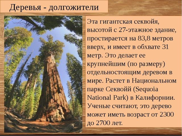 Деревья - долгожители Эта гигантская секвойя, высотой с 27-этажное здание, пр...