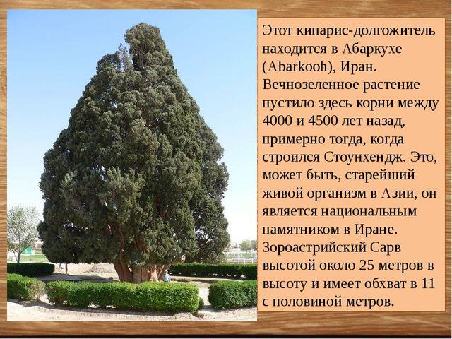 Этот кипарис-долгожитель находится в Абаркухе (Abarkooh), Иран. Вечнозеленное...