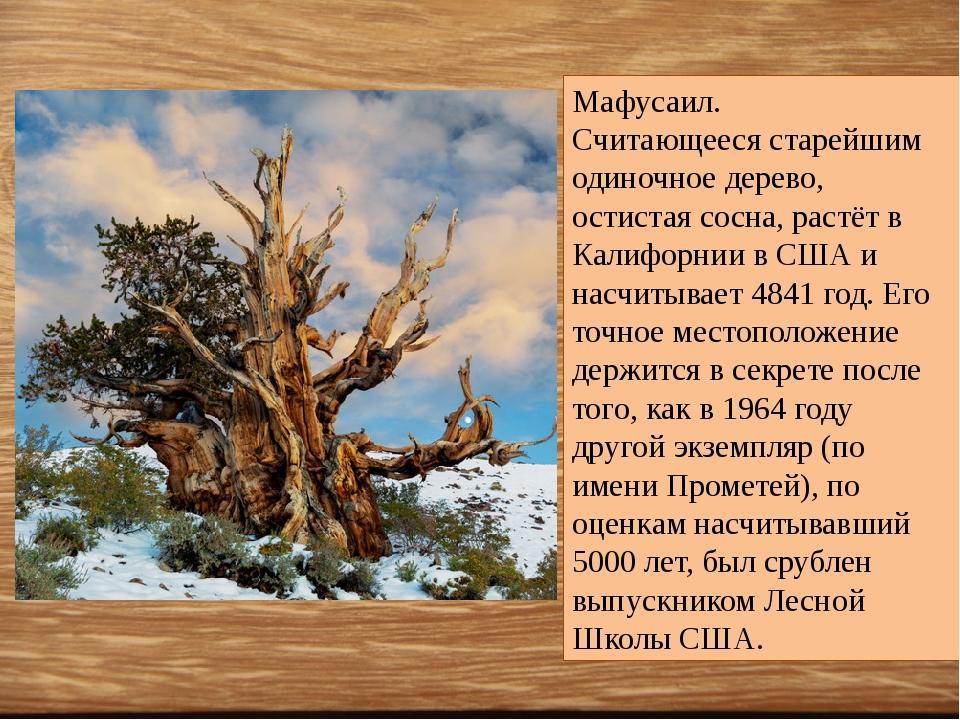 Мафусаил. Считающееся старейшим одиночное дерево, остистая сосна, растёт в К...