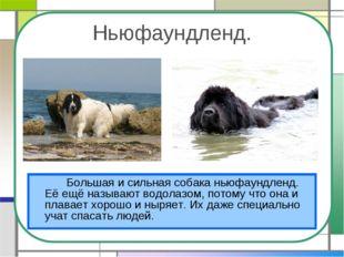 Ньюфаундленд. Большая и сильная собака ньюфаундленд. Её ещё называют водола