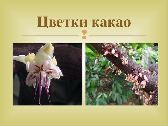 Цветки какао