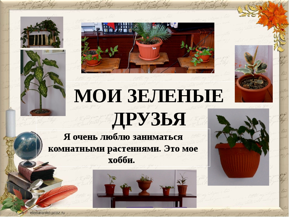 МОИ ЗЕЛЕНЫЕ ДРУЗЬЯ Я очень люблю заниматься комнатными растениями. Это мое хо...
