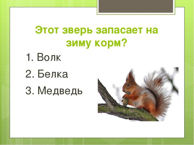 Этот зверь запасает на зиму корм? 1. Волк 2. Белка 3. Медведь