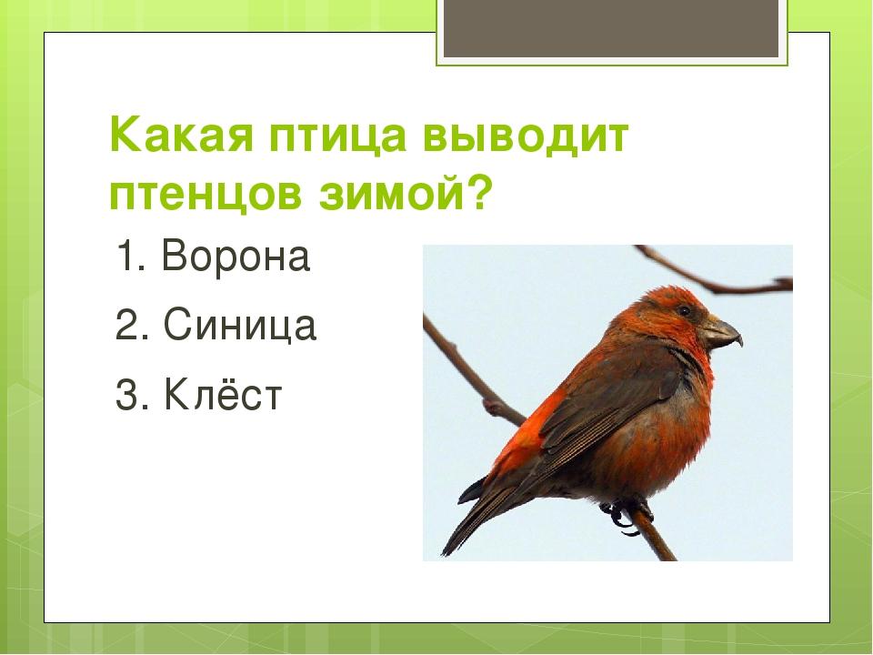 Какая птица выводит птенцов зимой? 1. Ворона 2. Синица 3. Клёст