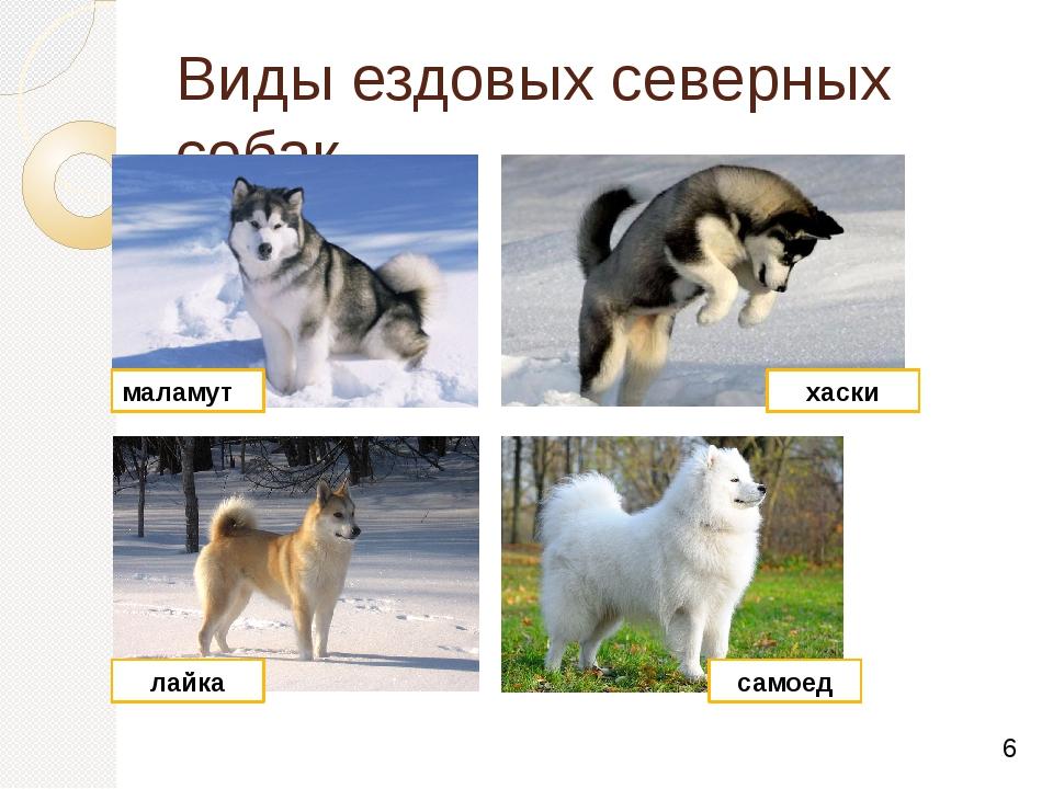 Виды ездовых северных собак маламут хаски лайка самоед