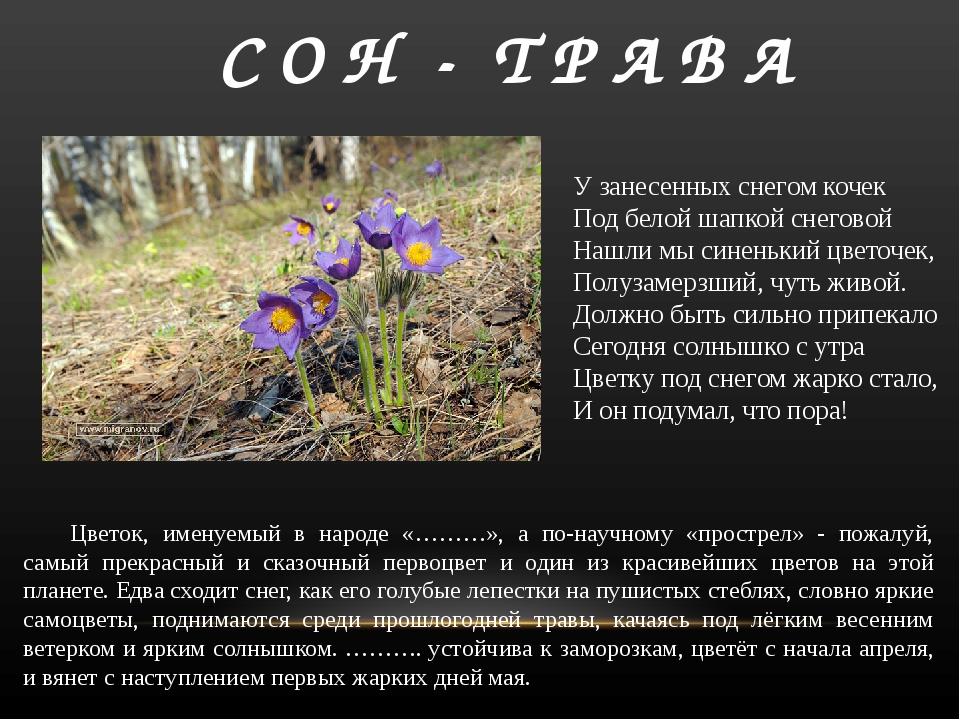 С О Н - Т Р А В А Цветок, именуемый в народе «………», а по-научному «прострел»...