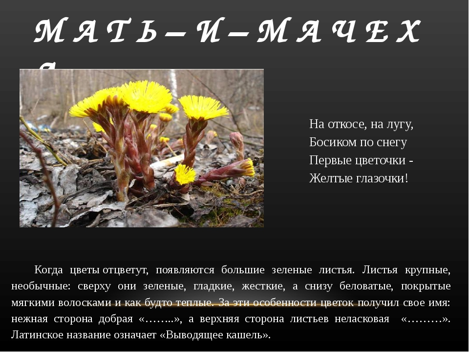 М А Т Ь – И – М А Ч Е Х А На откосе, на лугу, Босиком по снегу Первые цветочк...