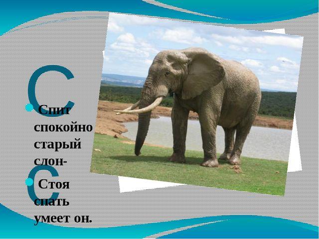 Сс Спит спокойно старый слон- Стоя спать умеет он.