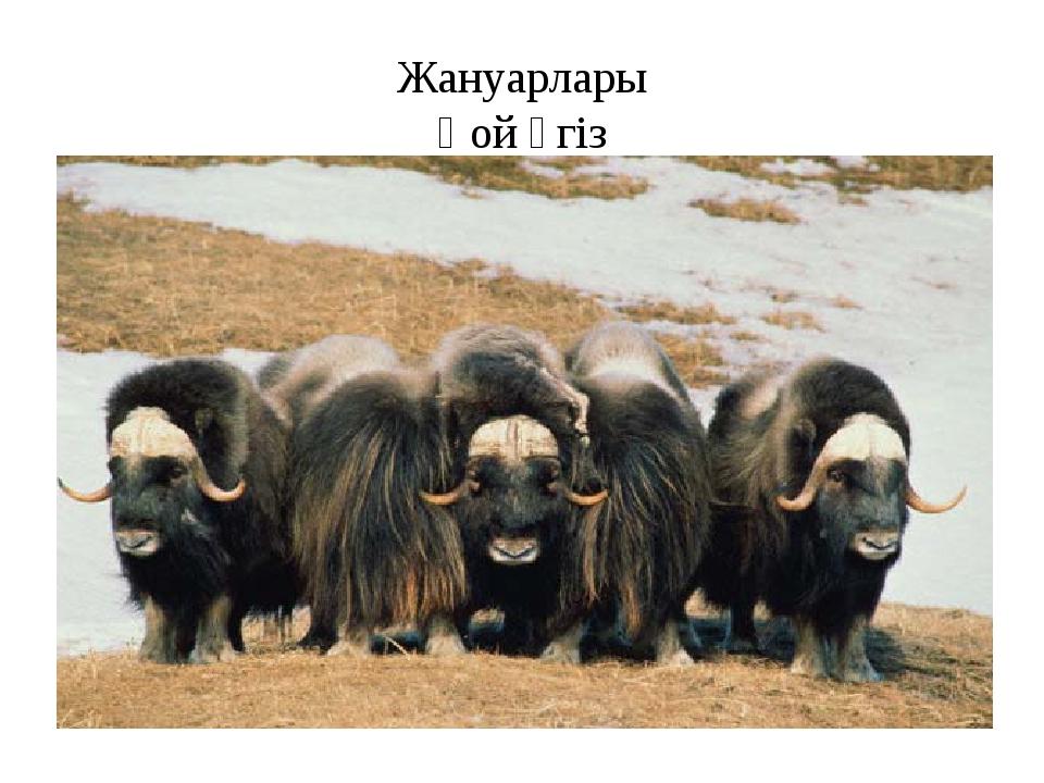 Жануарлары Қой өгіз
