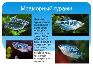 Мраморный гурами Название гурами говорит само за себя – окрас рыбки мраморный