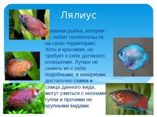 Лялиус Нравная рыбка, которая не любит посягательств на свою территорию. Хоть