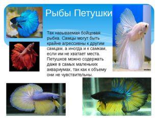 Рыбы Петушки Так называемая бойцовая рыбка. Самцы могут быть крайне агрессивн