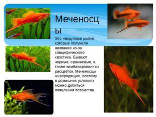 Меченосцы Это некрупные рыбки, которые получили название из-за специфического