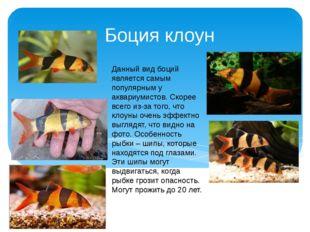 Боция клоун Данный вид боций является самым популярным у аквариумистов. Скоре