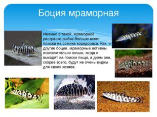 Боция мраморная Именно в такой, мраморной раскраске рыбка больше всего похожа