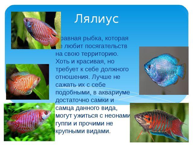 Лялиус Нравная рыбка, которая не любит посягательств на свою территорию. Хоть...