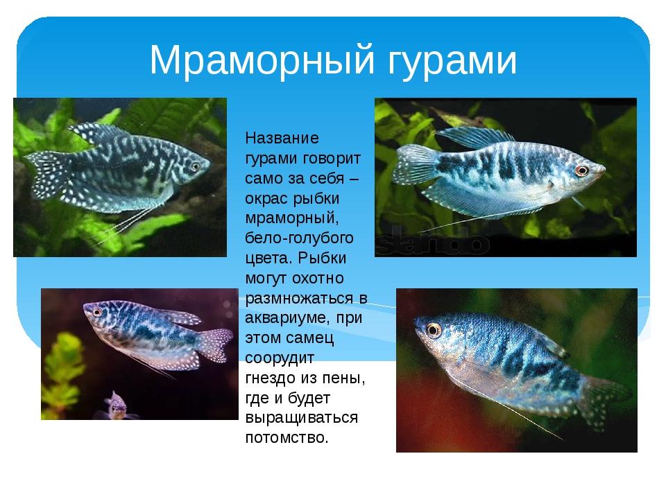 Мраморный гурами Название гурами говорит само за себя – окрас рыбки мраморный...