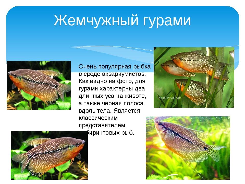 Жемчужный гурами Очень популярная рыбка в среде аквариумистов. Как видно на ф...