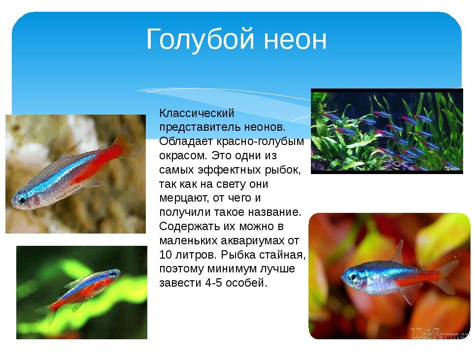 Голубой неон Классический представитель неонов. Обладает красно-голубым окрас...