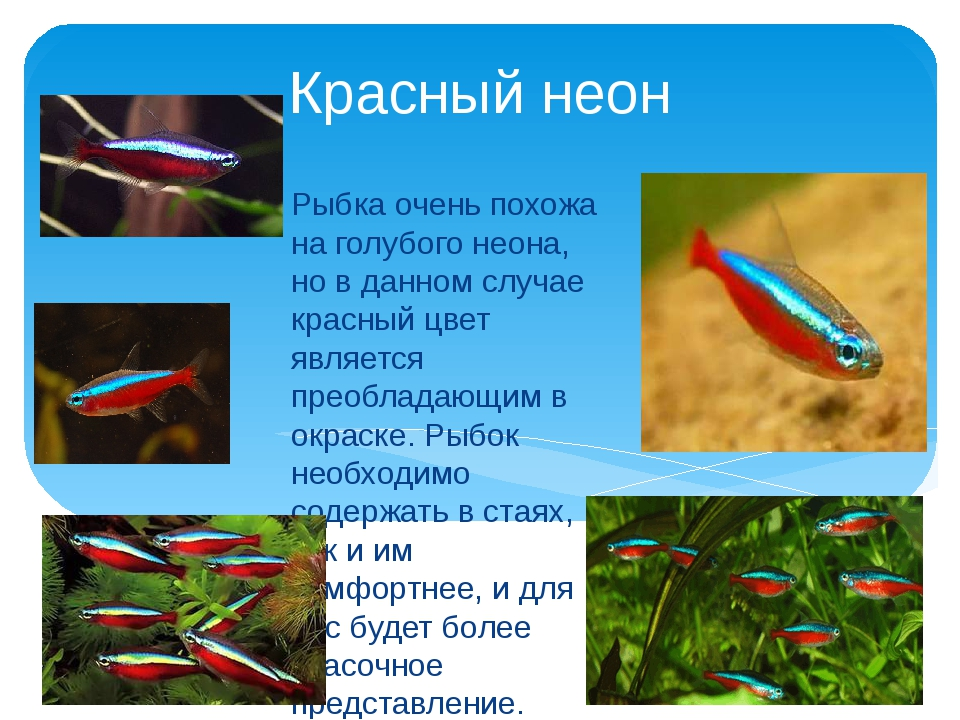 Красный неон Рыбка очень похожа на голубого неона, но в данном случае красный...