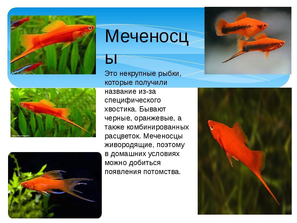 Меченосцы Это некрупные рыбки, которые получили название из-за специфического...