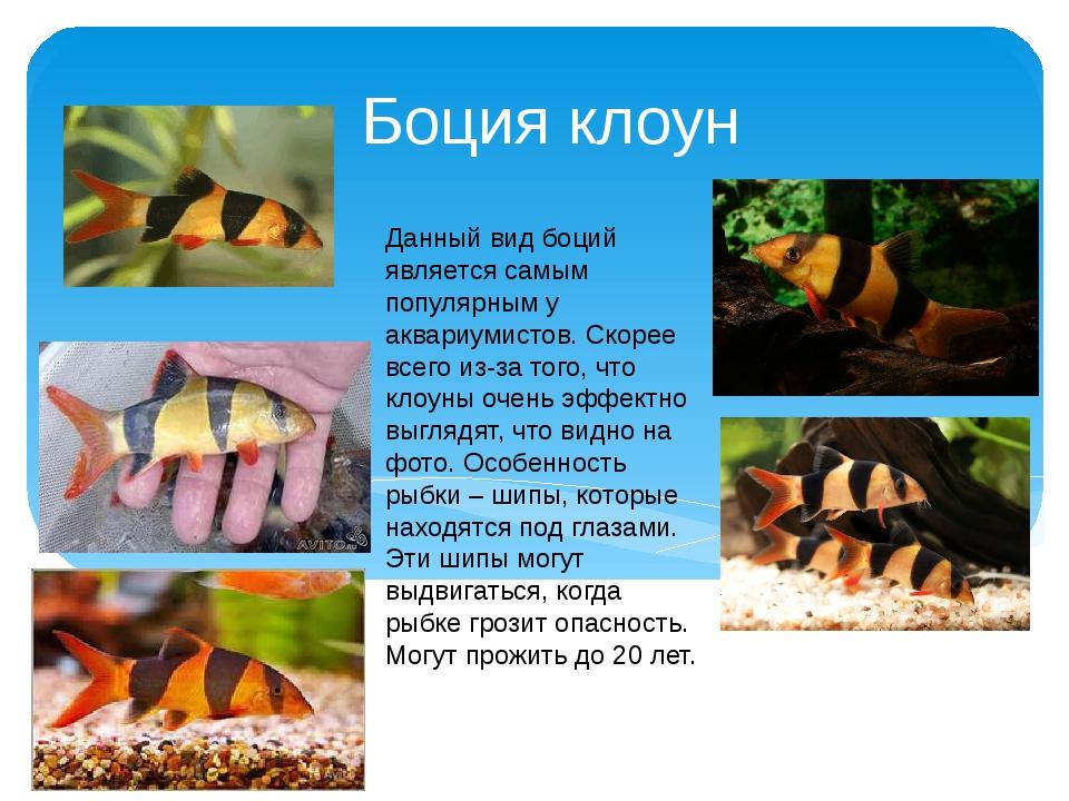 Боция клоун Данный вид боций является самым популярным у аквариумистов. Скоре...