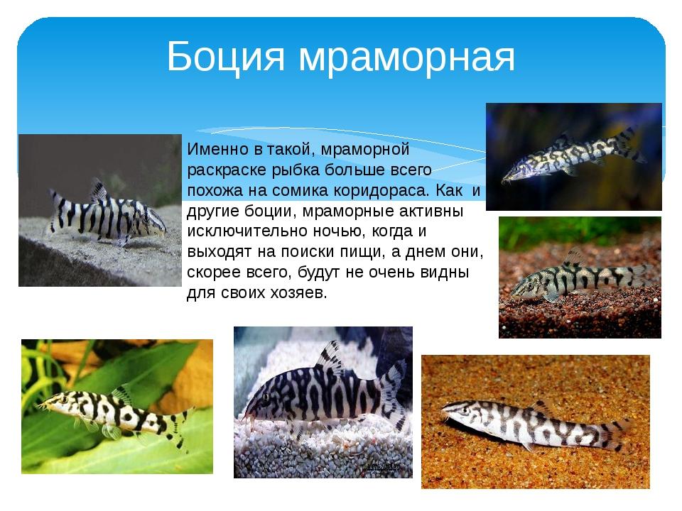 Боция мраморная Именно в такой, мраморной раскраске рыбка больше всего похожа...