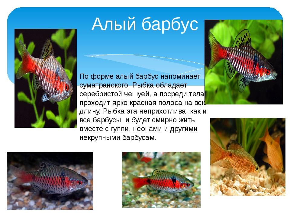 Алый барбус По форме алый барбус напоминает суматранского. Рыбка обладает сер...