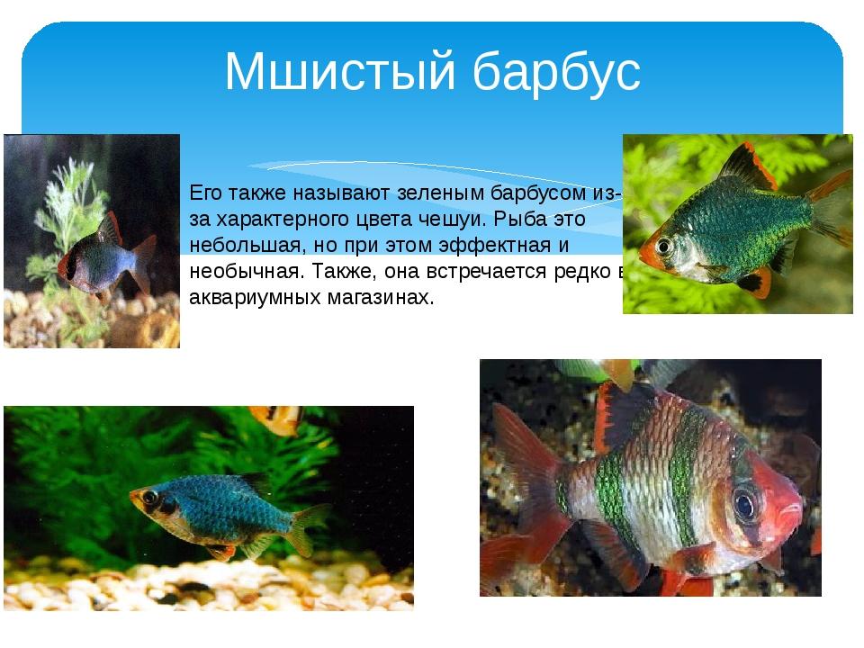 Мшистый барбус Его также называют зеленым барбусом из-за характерного цвета ч...