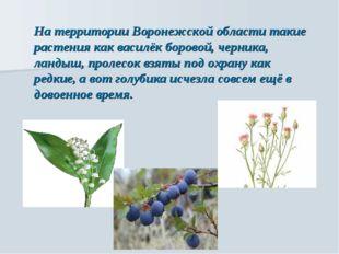 На территории Воронежской области такие растения как василёк боровой, черника