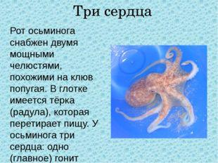 Три сердца Рот осьминога снабжен двумя мощными челюстями, похожими на клюв по