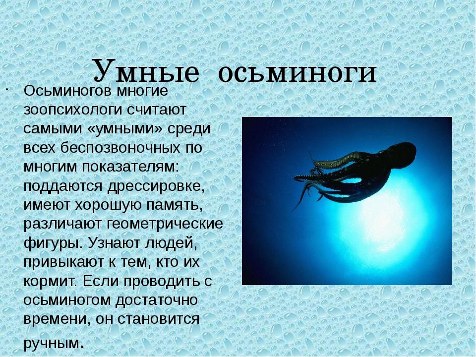 Умные осьминоги Осьминогов многие зоопсихологи считают самыми «умными» среди...