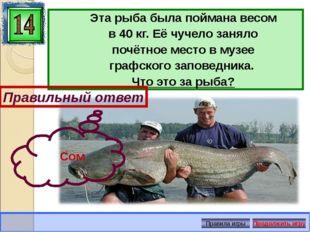 Эта рыба была поймана весом в 40 кг. Её чучело заняло почётное место в музее