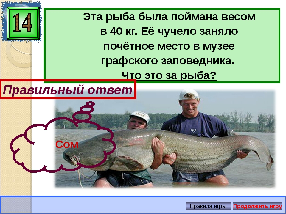 Эта рыба была поймана весом в 40 кг. Её чучело заняло почётное место в музее...
