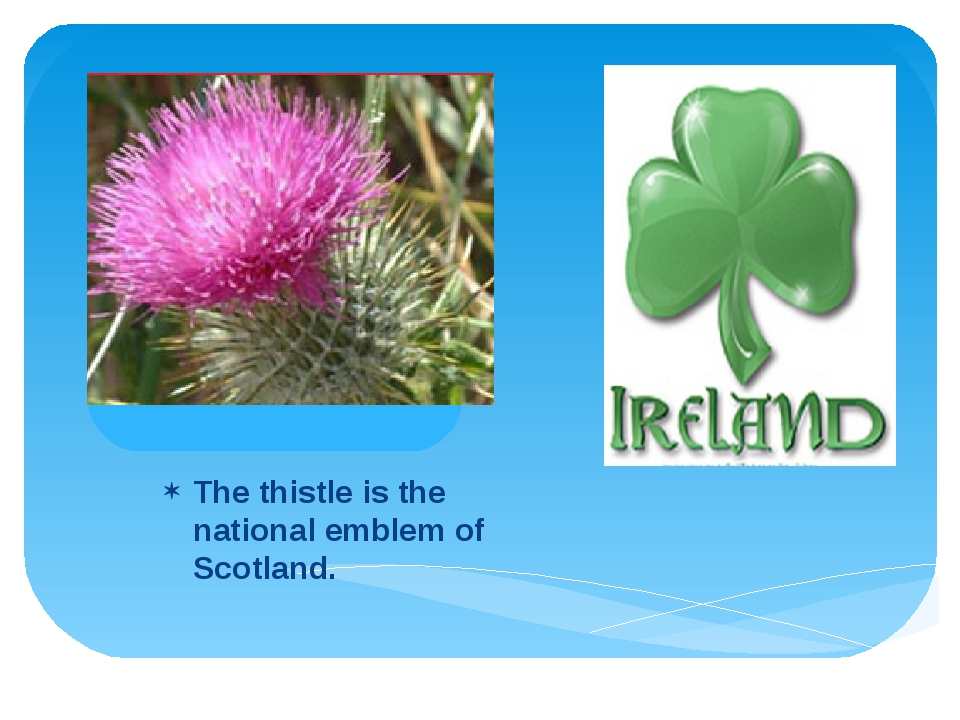 The thistle is the national emblem of Scotland.
