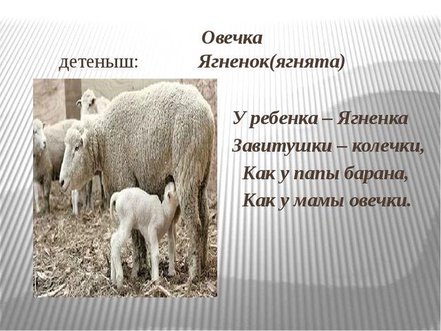 Овечка детеныш: Ягненок(ягнята) У ребенка – Ягненка Завитушки – колечки, Как...
