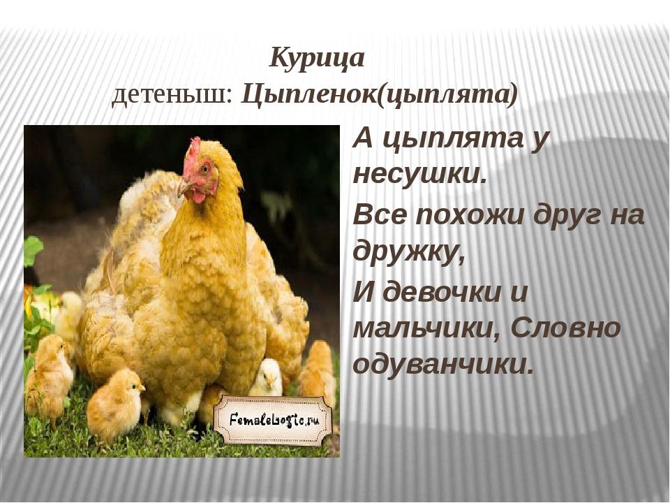 Курица детеныш: Цыпленок(цыплята) А цыплята у несушки. Все похожи друг на др...