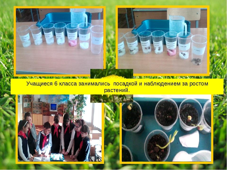 Учащиеся 6 класса занимались посадкой и наблюдением за ростом растений.