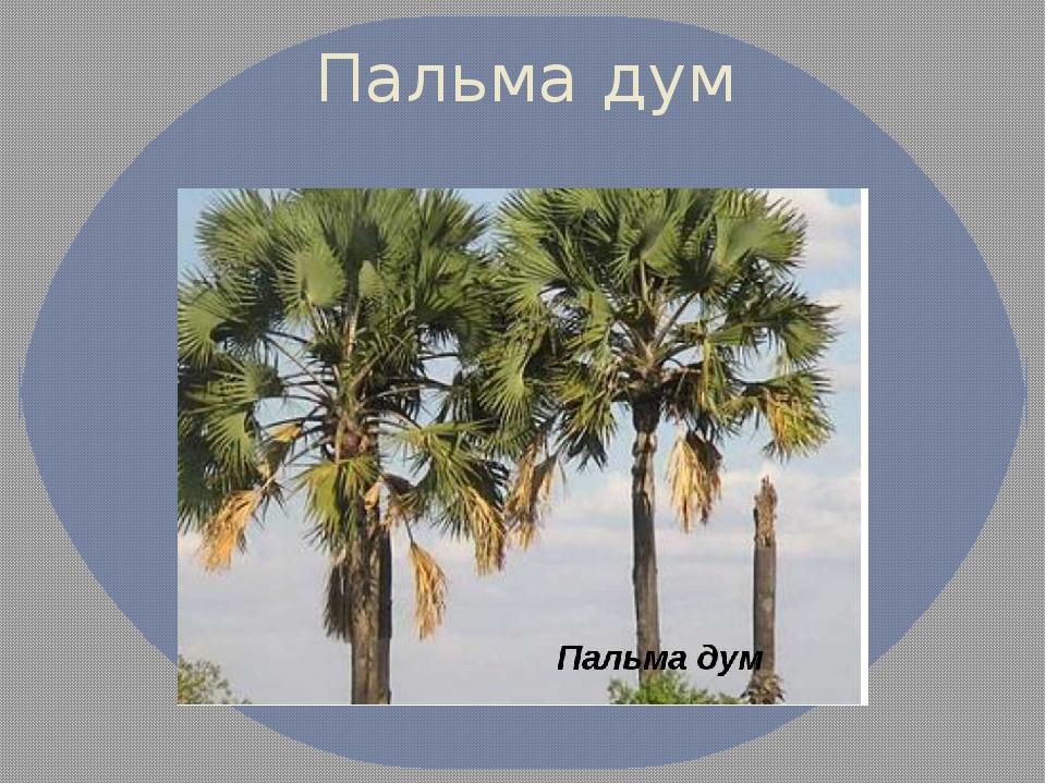 Пальма дум