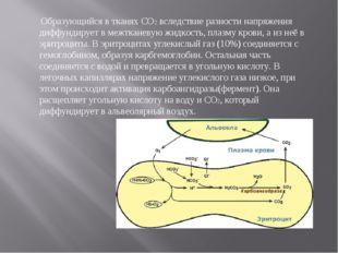 Образующийся в тканях СО2 вследствие разности напряжения диффундирует в межт