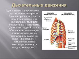 Вдох и выдох осуществляется дыхательным аппаратом. Активная роль в акте вдоха