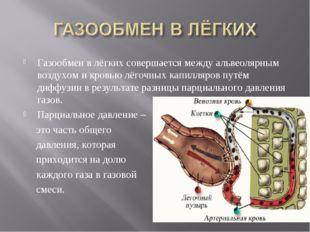 Газообмен в лёгких совершается между альвеолярным воздухом и кровью лёгочных