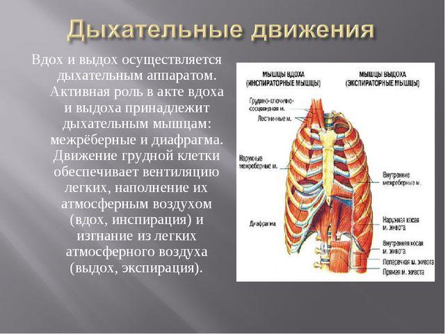 Вдох и выдох осуществляется дыхательным аппаратом. Активная роль в акте вдоха...