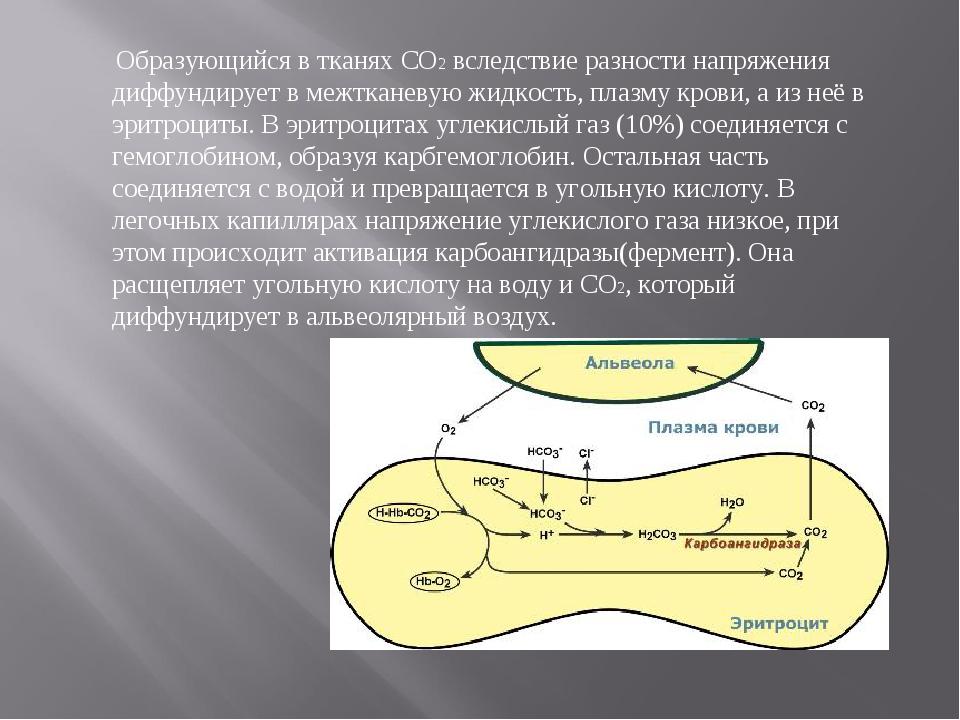 Образующийся в тканях СО2 вследствие разности напряжения диффундирует в межт...