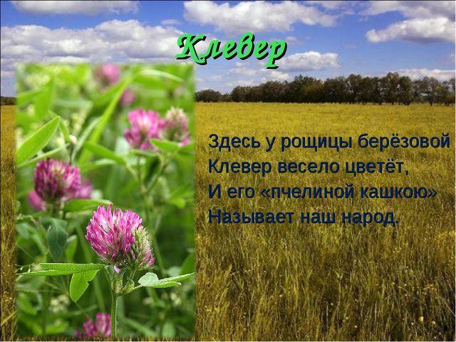 Клевер Здесь у рощицы берёзовой Клевер весело цветёт, И его «пчелиной кашкою»...