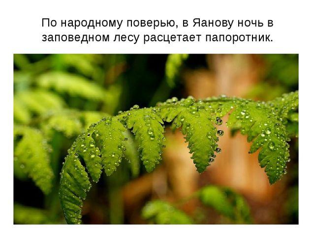 По народному поверью, в Яанову ночь в заповедном лесу расцетает папоротник.