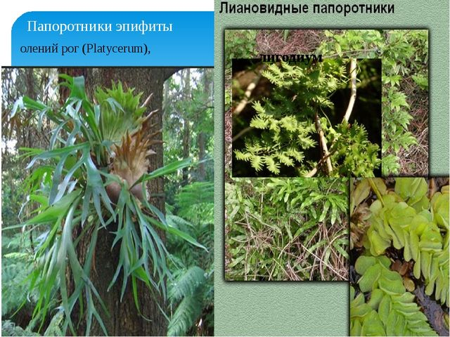 Папоротники эпифиты олений рог (Platycerum), лигодиум