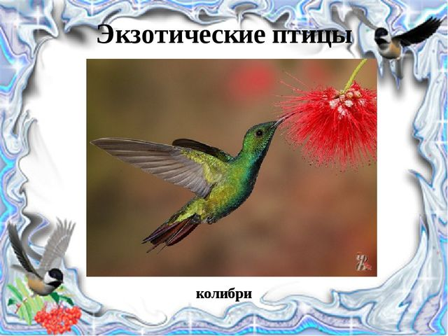 Экзотические птицы колибри