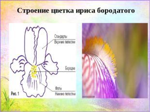 Строение цветка ириса бородатого