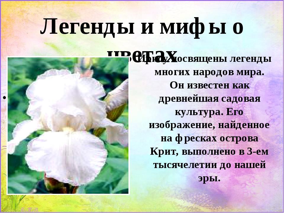 Легенды и мифы о цветах Ирису посвящены легенды многих народов мира. Он извес...